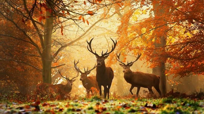 Олени в лесу, Осень - Обои Природа - Коллекция картинок ...